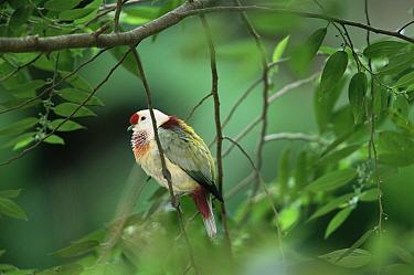 Many coloured fruit dove (Ptilinopus peroussi) male in rainforest, Viti Levu Island, Fiji. Endemic to Fiji, Samoa, and Tonga.