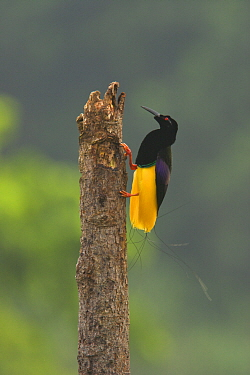 Twelve wired Bird of Paradise (Seleucidis melanoleucus) male on his display pole in the swamp forest along the Karawari River, Papua New Guinea