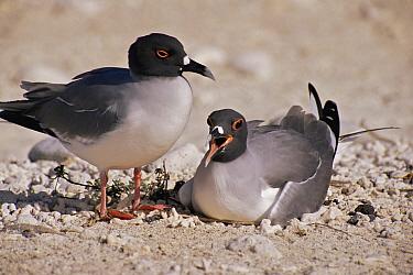 Swallow-tailed gull (Larus / Creagrus furcatus) pair at nest. Santa Cruz Island, Galapagos, June