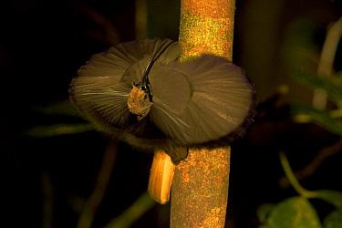 Male Black Billed Sicklebill (Falculea palliata) displaying pectoral collar. Papua New Guinea.