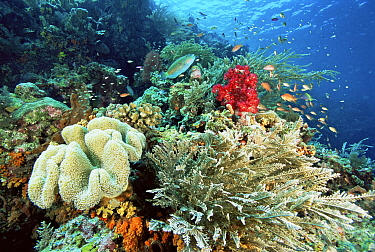 Reef view with soft corals, fire coral (hydroids), Parrotfish {Scarus sp} and Lyretail Anthias (Pseudanthias squamipinnis) Indo-pacific