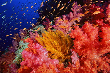 Anthias fish swimming over a coral reef covered in soft corals and a yellow crinoid feather star. Primarily Lyretail Anthias (Pseudanthias squamipinnis) Vatu-i-Ra, Fiji