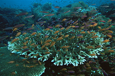 Reef view with hard corals (Acropora sp.) and schools of Slender Anthias (Luzonichthys waitei) and Lyretail Anthias (Pseudanthias squamipinnis) hovering over the reef. Vatu-i-Ra, Fiji.