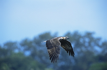 White-bellied Sea Eagle (Haliaeetus leucogaster) juvenile in flight. Subic Bay, Luzon Island, Philippines