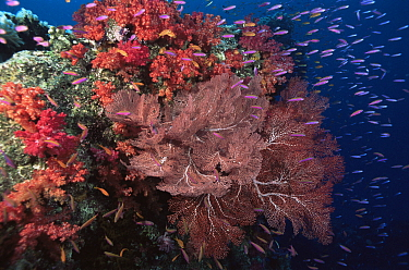 Coral reef landscape with soft corals, sea fans and schools of Slender Anthias (Luzonichthys waitei) and Lyretail / Scalefin Anthias (Pseudanthias squamipinnis), Vatu-i-Ra, Fiji, Pacific