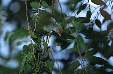 Many-colored Fruit Dove (Ptilinopus peroussi) female foraging in rainforest, Viti Levu Island, Fiji. Endemic to Fiji, Samoa, and Tonga.