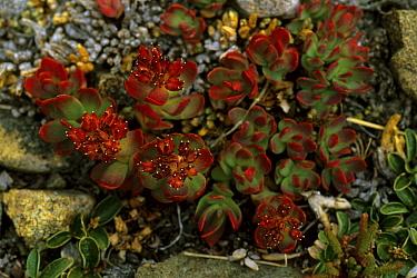 Rose sedum / roseroot (Sedum rosea) in the Dana Plateau, Sierra Nevada, California.