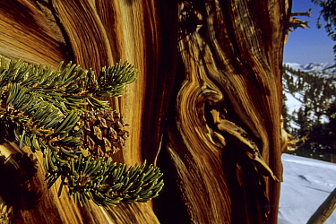 Great Basin bristlecone pine tree (Pinus longaeva) in the Patriarch Grove area of the White Mountains, California. Mar 2004.