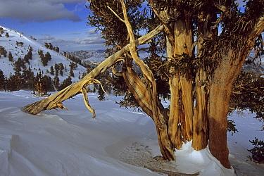 Great Basin bristlecone pine trees (Pinus longaeva) in the Patriarch Grove area of the White Mountains, California. Mar 2004.