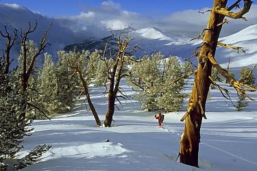 Man walking between Great Basin bristlecone pine trees (Pinus longaeva) in the Patriarch Grove area of the White Mountains, California. Mar 2004.