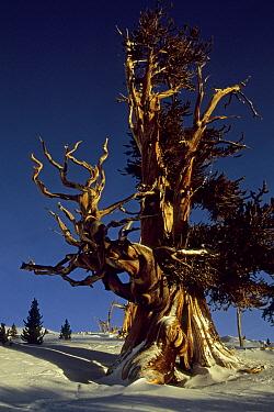 Sunlight on Great Basin bristlecone pine trees (Pinus longaeva) Patriarch Grove, White Mountains, California. Mar 2004.