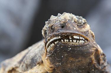 Dead Marine iguana (Amblyrhynchus cristatus) with tricuspid teeth showing. Espanola (Hood) Island, Galapagos Islands.
