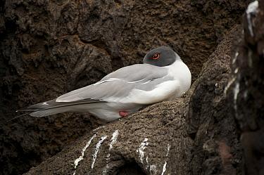 Swallow-tailed gull (Creagrus furcatus) roosting. Champion Islet off Floreana (Charles) Island, Galapagos Islands.