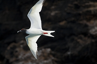 Swallow-tailed gull (Creagrus furcatus) flying. Champion Islet off Floreana (Charles) Island, Galapagos Islands.