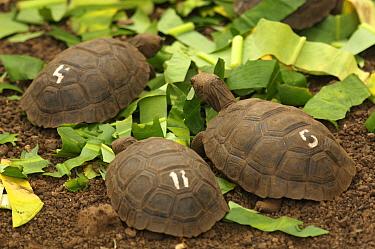 Young Galapagos giant tortoises (Geochelone nigra / Geochelone elephantopus) at the captive breeding facility at the Charles Darwin Research Station, Santa Cruz Island, Galapagos Islands.