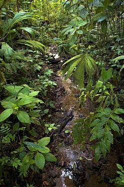 Rainforest stream lined with vegetation. Piedras Blancas National Park, Esquinas Rainforest Lodge, Costa Rica.
