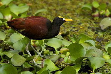 Northern jacana (Jacana spinosa) standing on aquatic vegetation. San Jose, Costa Rica.