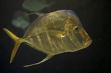 Lookdown fish (Selene vomer), captive. Nassau, New Providence Island, Bahamas.