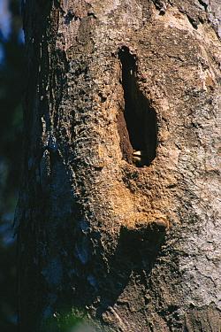 Wreathed hornbill (Rhyticeros / Aceros undulatus) female inside nest cavity, adding mud plaster to the side of the nest hole, Khao Yai National Park, Thailand