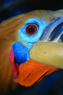 Close-up of Rufous-necked hornbill (Aceros nipalensis) Huai Kha Khaeng Wildlife Sanctuary, Thailand. IUCN Vulnerable