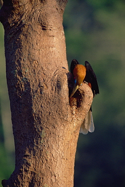 Rufous-necked hornbill (Aceros nipalensis) male at nest site, Huai Kha Khaeng Wildlife Sanctuary, Thailand. IUCN Vulnerable