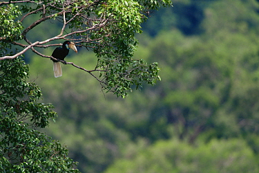 Wreathed hornbill (Rhyticeros / Aceros undulatus) female in forest canopy, Gunung Palung National Park, West Kalimantan, Borneo, Indonesia