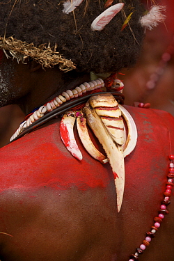 Traditional jewellry made from Hornbill beak worn by Huli Wigmen from Tari area, Southern Highlands Province, Papua New Guinea. September 2004