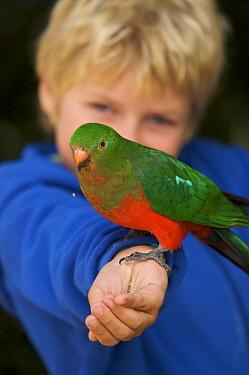 Russell Laman (8 years) feeding female wild Australian King parrot (Alisterus scapularis) Lamington National Park, Queensland, Australia. Model released August 2008