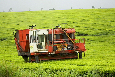 Tea harvesting machine, tea plantation, Atherton Tablelands, Queensland, Australia August 2008