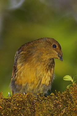 Crested bird of paradise (Cnemophilus macgregorii) female, Mount Hagen vicinity, Enga Province, Papua New Guinea