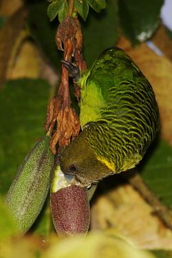 Brehm's tiger parrot (Psittacella brehmii) feeding, Mount Hagen vicinity, Enga Province, Papua New Guinea