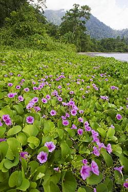 Beach morning glories (Ipomoe sp) in flower, Bantanta Island, Papua, Indonesia