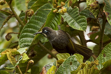 Belford's honeyeater (Melidectes belfordi) near Tari Valley, Southern Highlands Province, Papua New Guinea