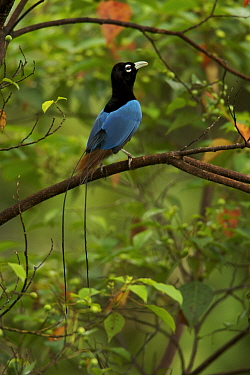Blue Bird of Paradise (Paradisaea rudolphi) male perched in the vicinity of the Tari Valley, Southern Highlands Province, Papua New Guinea.