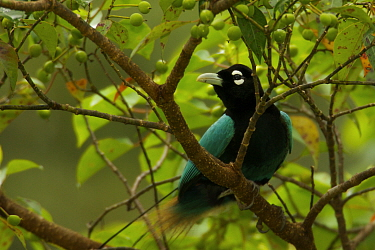 Blue Bird of Paradise (Paradisaea rudolphi) male in rainforest canopy in the vicinity of the Tari Valley, Southern Highlands Province, Papua New Guinea.