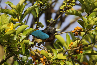 Blue Bird of Paradise (Paradisaea rudolphi) female foraging for fruit in the rainforest canopy in the vicinity of the Tari Valley, Southern Highlands Province, Papua New Guinea.