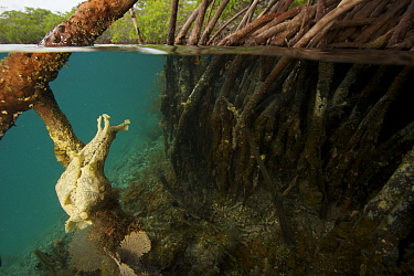 Split level of Spotted sea hare {Aplysia dactylomela} on root of Red mangrove tree {Rhizophora mangle} where it was grazing on algae. Tunicate Cove, Belize.
