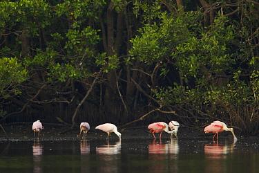 Roseate spoonbills (Platalea ajaja) foraging along the edges of a mangrove island. Alafia Banks Bird Sanctuary, Sunken Island, Tampa Bay, Florida, USA, May 2005