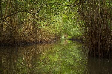 Red mangrove {Rhizophora mangle} tree canopy covers a narrow channel through the Caroni Swamp, Caroni Bird Sanctuary, Trinidad, Trinidad and Tobago. February 2006