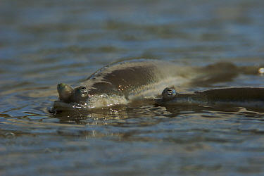 Four-eyed fish (Anableps sp) in very shallow water on mudflats adjacent to mangroves. Caroni Bird Sanctuary, Trinidad, Trinidad and Tobago. These fish have specialized eyes divided into two parts for...