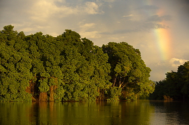 Early morning light illuminates a wall of Red mangroves {Rhizophora mangle} at the edge of a lagoon in Caroni Swamp with a rainbow in the background, Caroni Bird Sanctuary, Trinidad, Trinidad and Toba...
