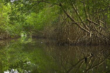 Red mangrove {Rhozophora mangle} tree canopy covers a narrow channel through the Caroni Swamp, Caroni Bird Sanctuary, Trinidad, Trinidad and Tobago. February 2006