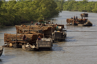 Boats loaded with Ceriops wood (local name Goran) for making charcoal, Sundarbans, Khulna Province, Bangladesh, March 2006