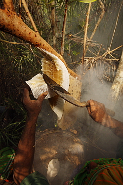 Man collecting honey from a honeycomb of the Giant Honeybee (Apis dorsata) using smoke to subdue the bees, a bush knife to cut the comb and a basket to catch the honey and comb, Sundarbans, Khulna Pro...