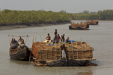 Charcoal wood collectors with boats loaded with Goran wood (Ceriops sp) harvested from the mangrove forest, Sundarbans, Khulna Province, Bangladesh, April 2006