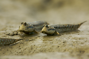 Mudskippers {Periophthalmus sp} forage on the mudflats of a mangrove channel, Sundarban Forest, Khulna Province, Bangladesh.
