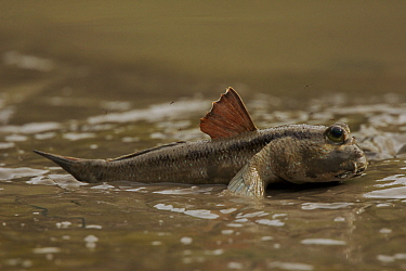 Giant mudskipper (Periophthalmodon sp.) on the mangrove mudflat in the Matang mangroves with its dorsal fin up. Taiping vicinity, Perak, Malaysia. May 2006