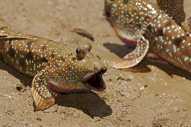 A mudskipper (Boleophthalmus sp) being bitten by a mosquito while displaying to another mudskipper. Matang Mangrove Forest, Taiping vicinity, Perak, Malaysia. May 2006