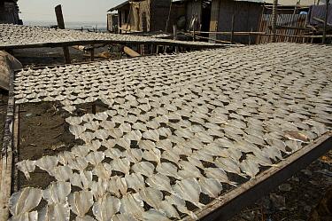 Fish drying on racks, Jaring Halus village vicinity, near the mangroves, North Sumatra, Indonesia. June 2006