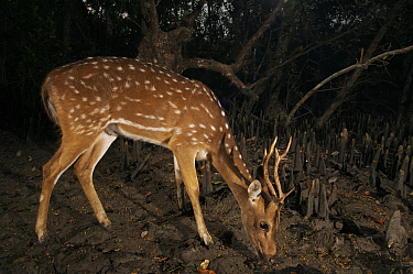 Axis / Chital deer {Axis axis) feeding in Sonneratia mangrove forest at night, Sundarbans Forest, Khulna Province, Bangladesh.